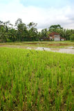 Rice field landscape with ducks, Bali scenic. An image showing some fresh green lush rice fields with a few ducks foraging for food among the rice padi plants Stock Photo