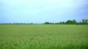 Rice field landscape Panning shot stock footage