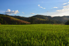 Rice field landscape. In thailanf Royalty Free Stock Photography