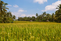 Rice field landscape, Ubud, Bali Stock Photography