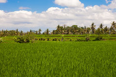 Rice field landscape, Ubud, Bali Stock Photo