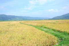 Rice field in Langkawi Royalty Free Stock Photos
