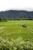 Rice field in Laos royalty free stock photography