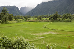 Rice field in Laos Royalty Free Stock Image