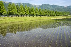Rice field and lined trees. Paddy field which newly planted seedlings in front of lined green trees Stock Image
