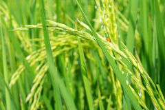 Rice field. Little ladybug with green rice fields Royalty Free Stock Images