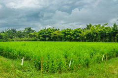 Rice field local  people in the  morning in thailand Royalty Free Stock Images