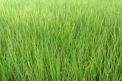 The rice in the field. Lush rice paddies in Thailand Stock Image