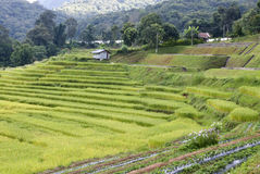 Rice field in Mae Klang Luang village Thailand Royalty Free Stock Images