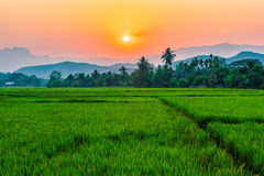 Rice field Mae Kon at sunset in Chiang Rai,Thailand Royalty Free Stock Photo