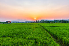Rice field Mae Kon at sunset in Chiang Rai,Thailand Royalty Free Stock Photos