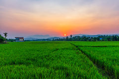 Rice field Mae Kon at sunset in Chiang Rai,Thailand Stock Images