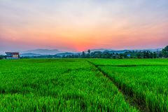 Rice field Mae Kon at sunset in Chiang Rai,Thailand Royalty Free Stock Photography