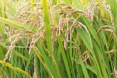 Rice in a field. Mature rice grains growing in a rice paddy Stock Photos