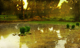 Rice field in the morning. With ray of light Royalty Free Stock Photo