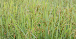 Rice field. Royalty Free Stock Images