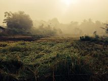 Rice field. Rice field in morning Stock Photography
