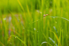 Rice field. In the morning in green background Stock Photography