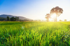 Rice field in morning Royalty Free Stock Photo