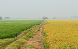 Rice field with walkway Stock Image