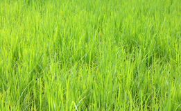 Rice field in the morning Royalty Free Stock Image