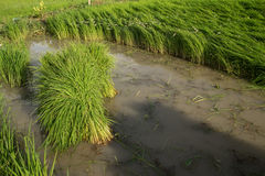 Rice Field. In the morning, the rice seedlings are collected Stock Photo