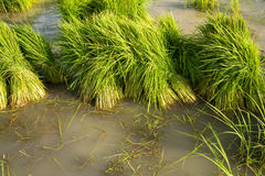 Rice Field. In the morning, the rice seedlings are collected Stock Photography