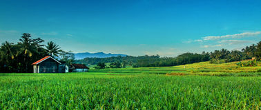 Rice Field in the Morning. Someday morning in the landscape of my village Stock Photos