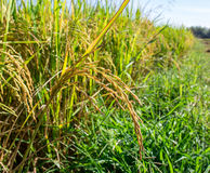 Rice in the field Royalty Free Stock Image