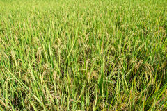 Rice in the field Stock Photo