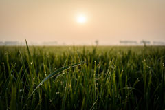 Rice field at morning Royalty Free Stock Photo