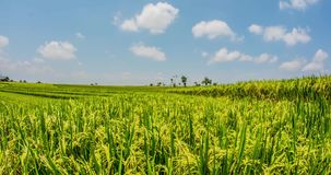 Rice Field Motionlapse Bali 4k. Rice fileld in Bali, Indonesia motionlapse stock video footage