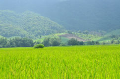 Rice field of mountain Royalty Free Stock Images