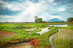 Rice Field with Mountain as a Background Stock Photo