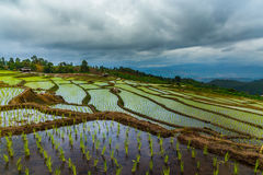 Rice field on the mountain. The baby rice was plant on the mountian in norht of Thailand Stock Photography