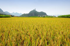 Rice field with mountain background Stock Photos