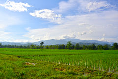 Rice field and mountain. Stock Photo