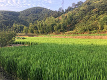 Rice field by the mountain Stock Images
