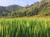 Rice field by the mountain Stock Photos