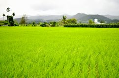 Rice field with mountain Royalty Free Stock Photography