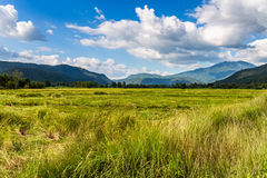 Rice Field and Mountain in Thailand Stock Images