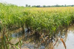 Rice field in Nakhon Nayok province Royalty Free Stock Photos