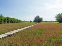 Rice field in Nakhon Nayok province. Of Thailand Royalty Free Stock Photography