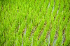 Rice field. At Nan province, Thailand Stock Photo