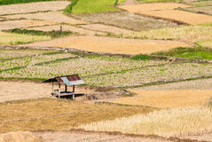 Rice field at nan province. Thailand Royalty Free Stock Photography