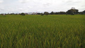 Rice field near the house stock photography