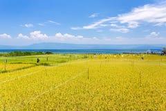 Rice field near lake Toba, Sumatra, Indonesia stock photography