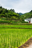Rice field near the village stock images