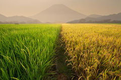 Rice field near the volcano Stock Photos