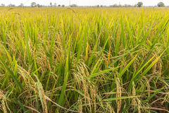 Rice field. Nearly harvest in thailand Royalty Free Stock Images